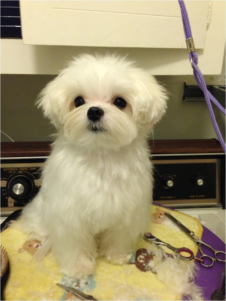 Cute Maltese Hairstyles 17 Best Images About Maltese Haircuts On Pinterest