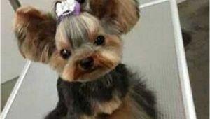 Cute Yorkie Hairstyles Yorkie Haircuts 100 Yorkshire Terrier Hairstyles